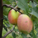 Зимние сорта яблонь (яблок)