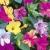 Мирабилис  - выращивание из семян ночной красавицы