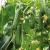 Выращивание огурцов в зимней теплице