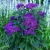 Гелиотроп - выращивание из семян, фото цветка