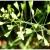 Пастушья сумка - трава со множеством достоинств
