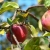 Яблоня Звездочка