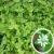 Трава мокрица. Лечебные свойства и применение
