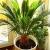 Цикас – уход в домашних условиях, описание и фото цветка