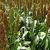 Суданская трава. Применение и агротехника
