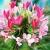 Клеома. Выращивание из семян и правила ухода