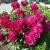 Пионы – посадка и уход за цветком