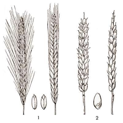 Пшеница и рожь