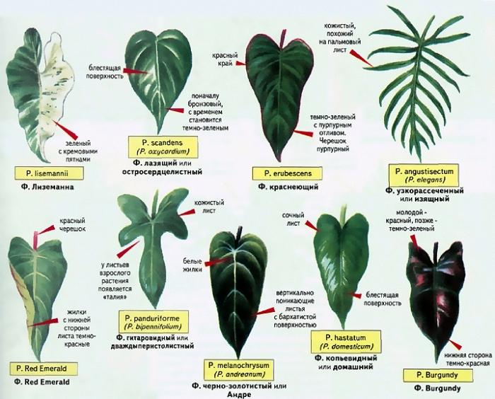Продам цветок филодендрон с темно- зелеными красивыми листьями, у молодых листьев красные прилистники