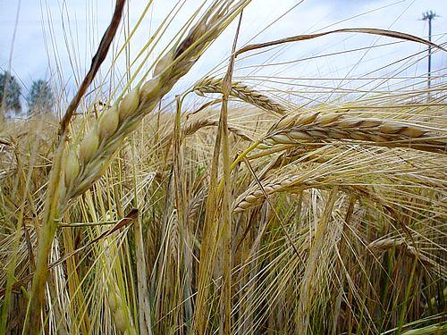 картинки пшеницы и ржи