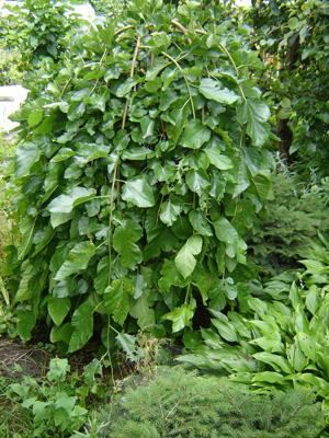 Молодое дерево шелковицы